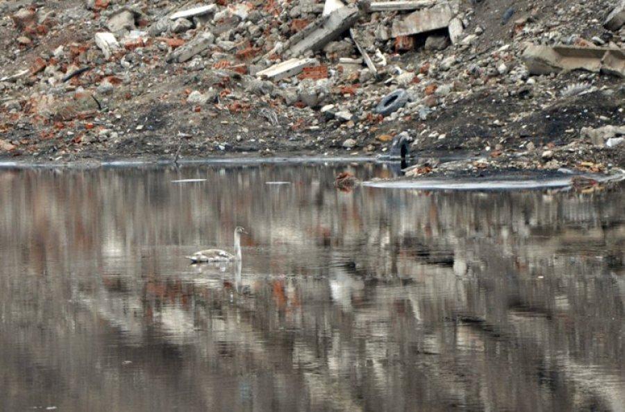 TRZEBINIA. Kto pomoże łabędziowi, który pływa w toksycznym zbiorniku Górki?