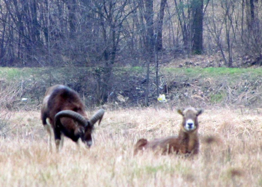 W Psarach osiedliły się muflony