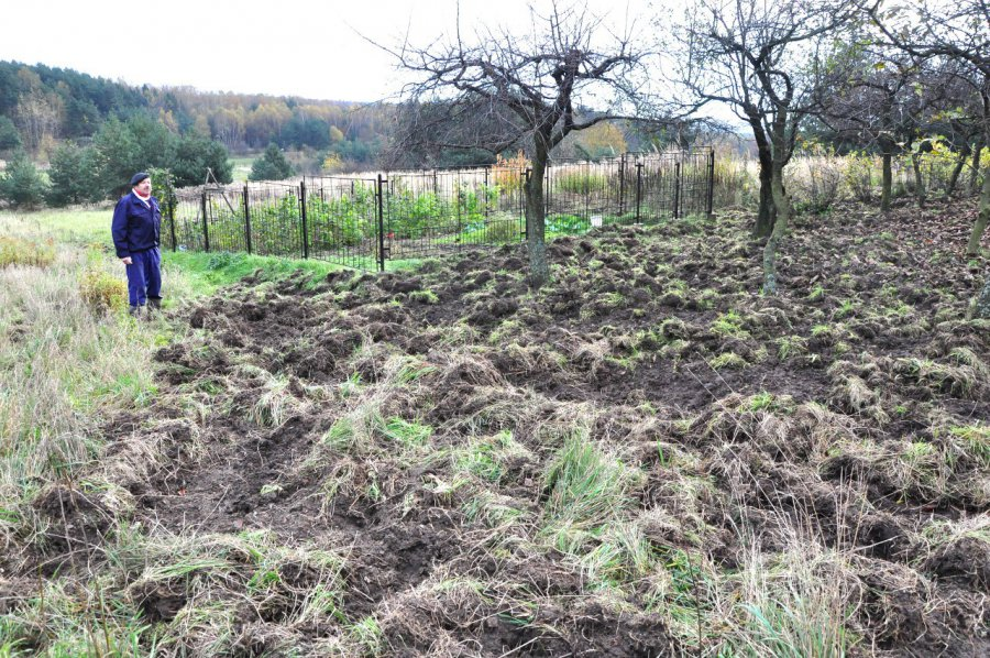 Dziki niszczą ogródki i sady. Gdzie szukać pomocy?