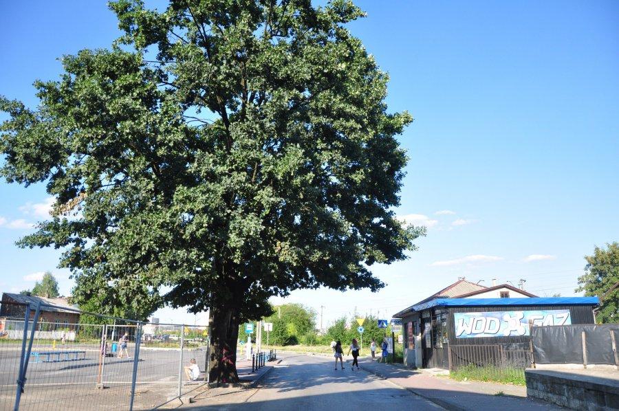 Drzewo, dające cień pasażerom na dworcu ZKKM, zostanie wycięte