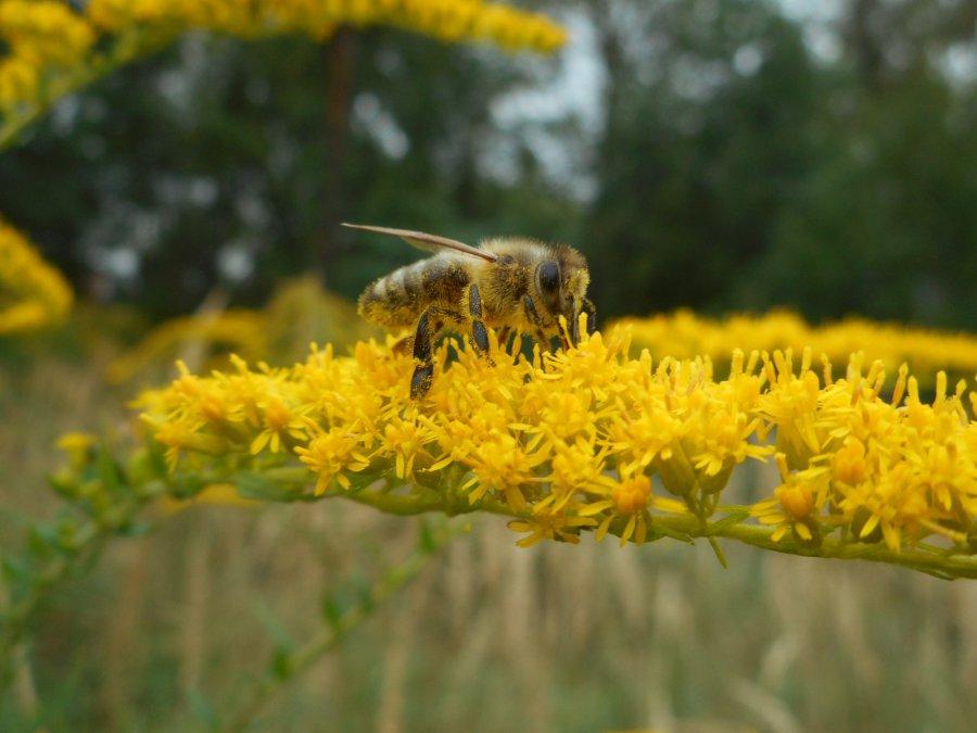 Pszczoły pracują