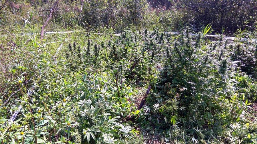 Nielegalna plantacja za ponad 200 tysięcy złotych