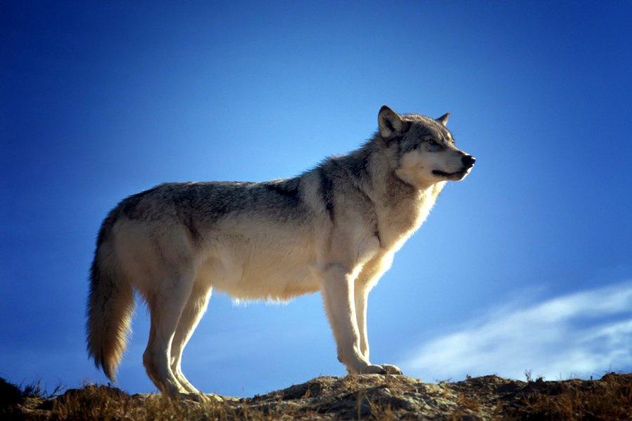 Wilk poluje w naszych lasach (WIDEO)