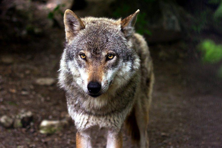 Przybywa wilków w naszych lasach