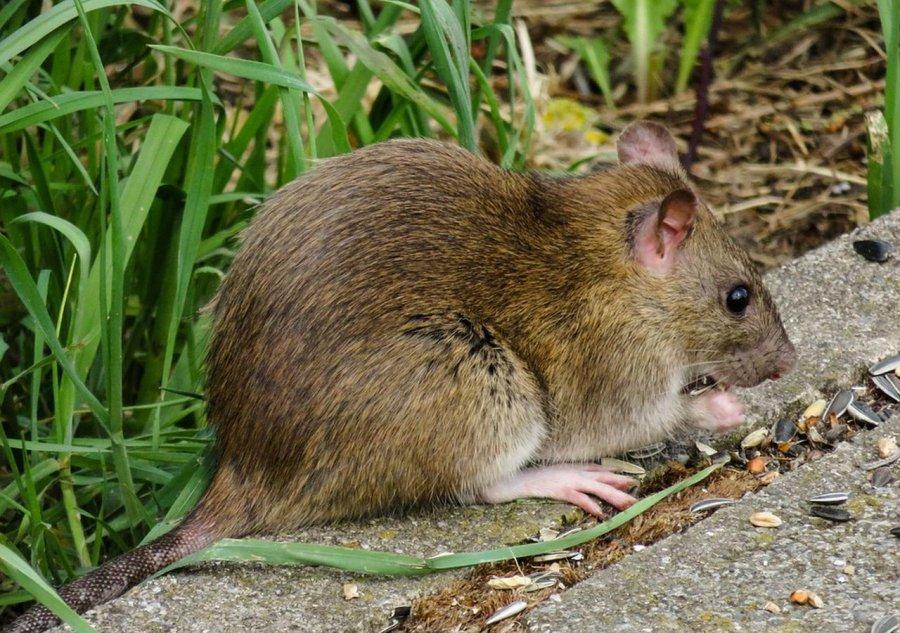 Mamy dziesiątki tysięcy szczurów
