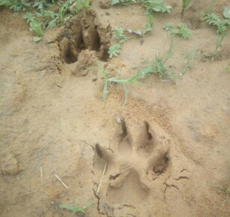 Wilk pojawił się we wsi?