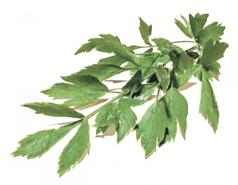 Lubczyk - zioło dla zestresowanych