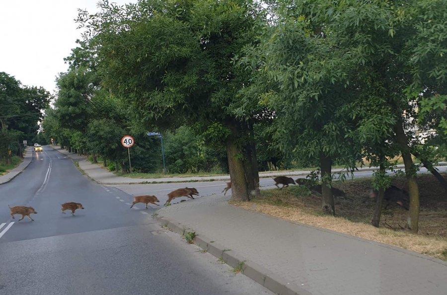 Dziki znów w mieście. Tym razem na Pogorskiej