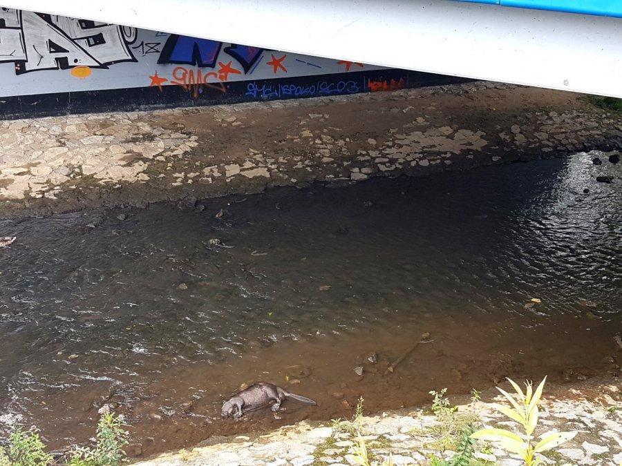 Martwy bóbr od kilku dni leży pod mostem