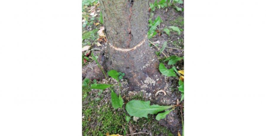 Ktoś zniszczył drzewka na osiedlu