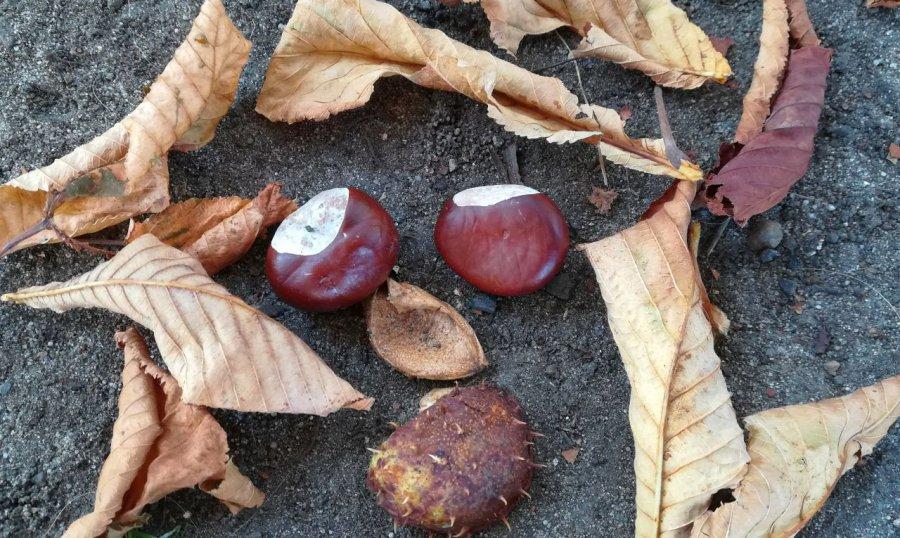 Kasztany – symbole jesieni. Wy też je zbieracie?