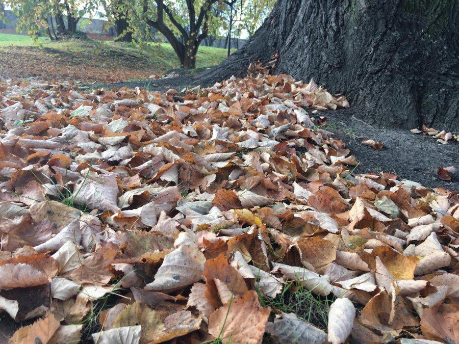 Co zrobić z suchymi liśćmi?