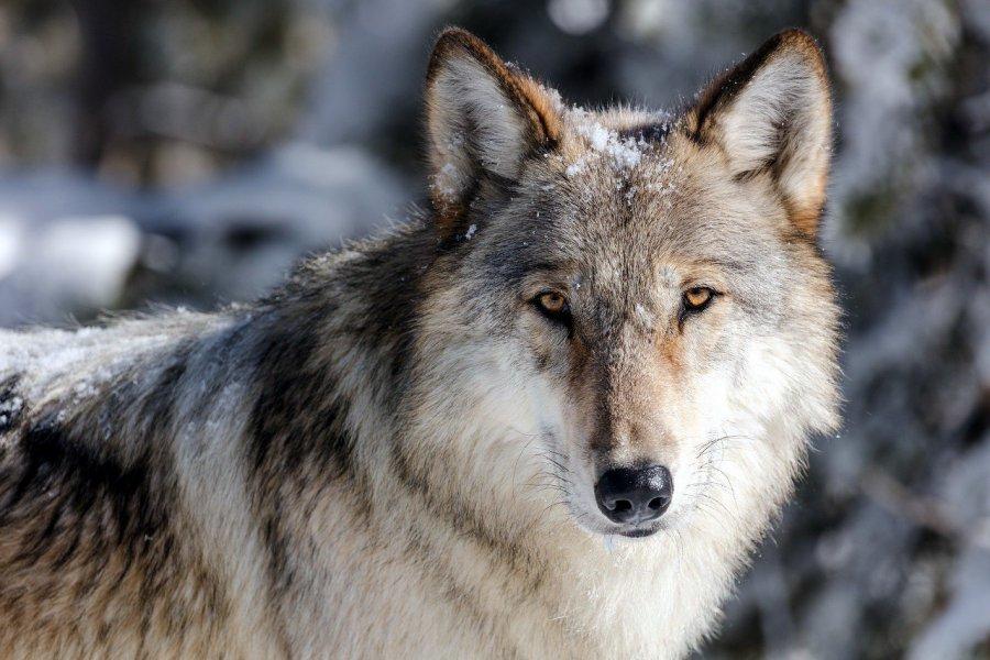 Ile jest wilków w naszych lasach?