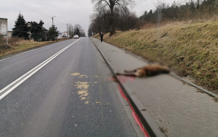 Na krajówce samochód zderzył się z jeleniem