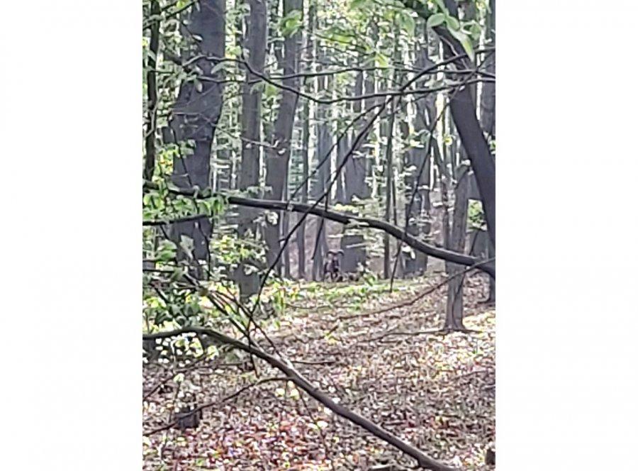 Muflony znów były widziane w okolicy