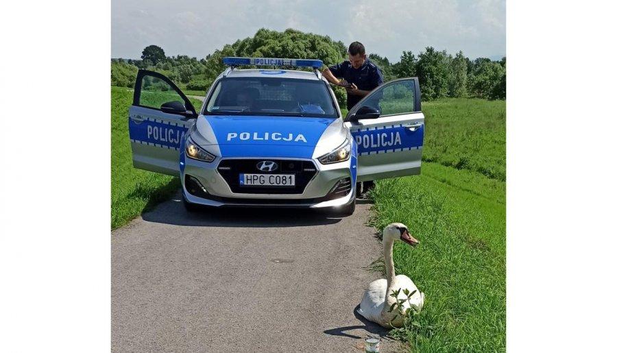 Policjanci uratowali rannego łabędzia