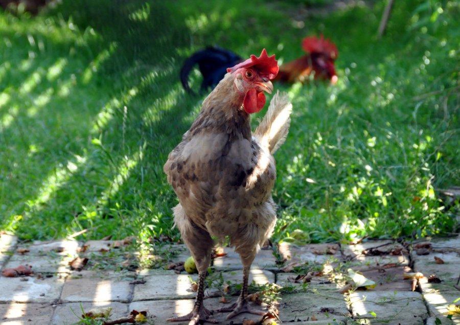 Złodziej ukradł kury i zboże