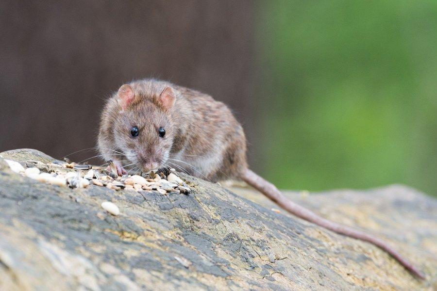Szczury nawet w ciągu dnia biegają po ulicach
