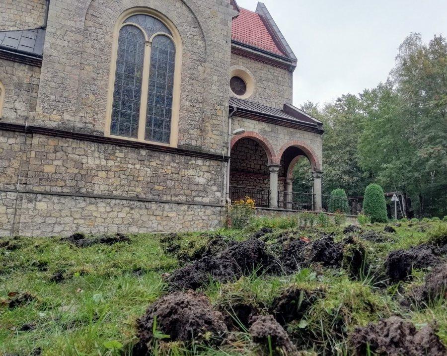 Dziki ryją przy kościele w Chrzanowie