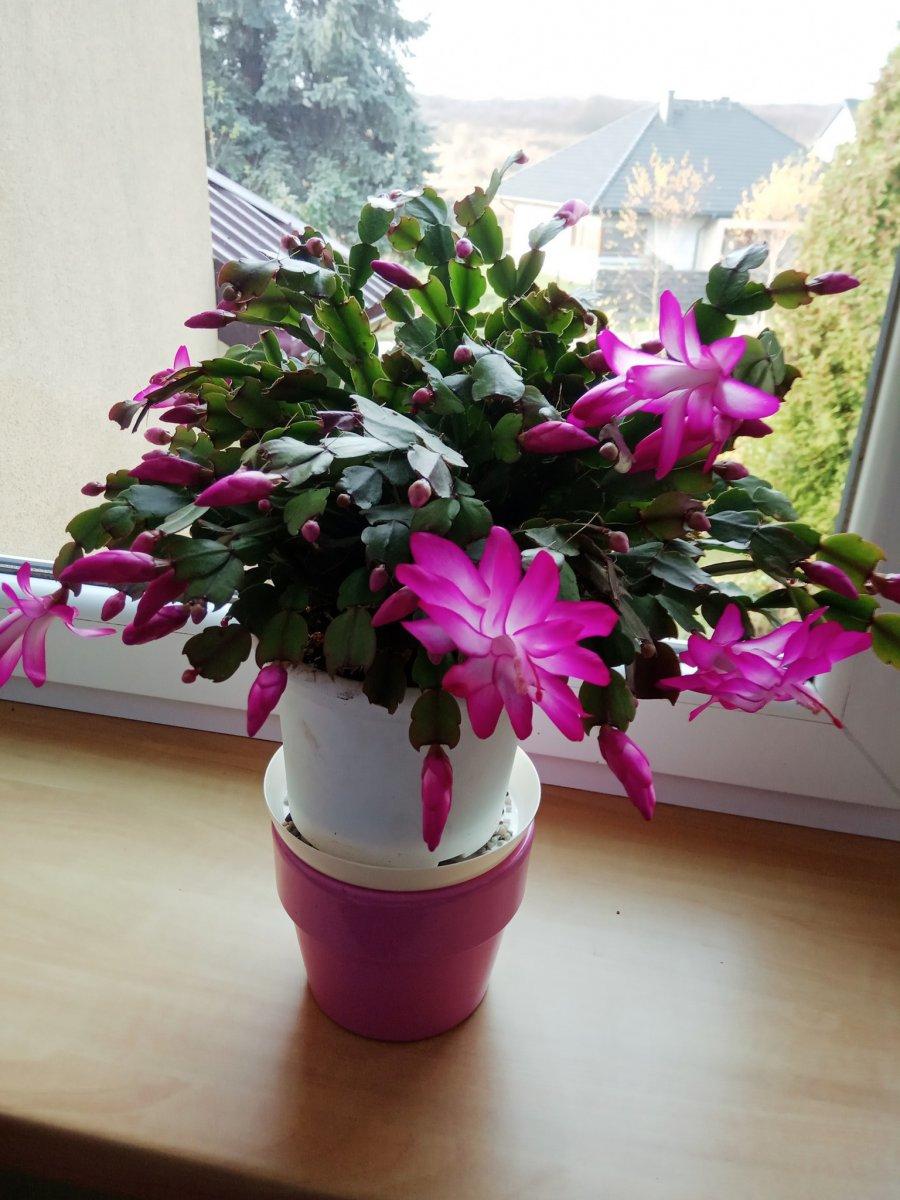 Bożonarodzeniowy kaktus zaczyna kwitnąć, bo nastała brazylijska wiosna