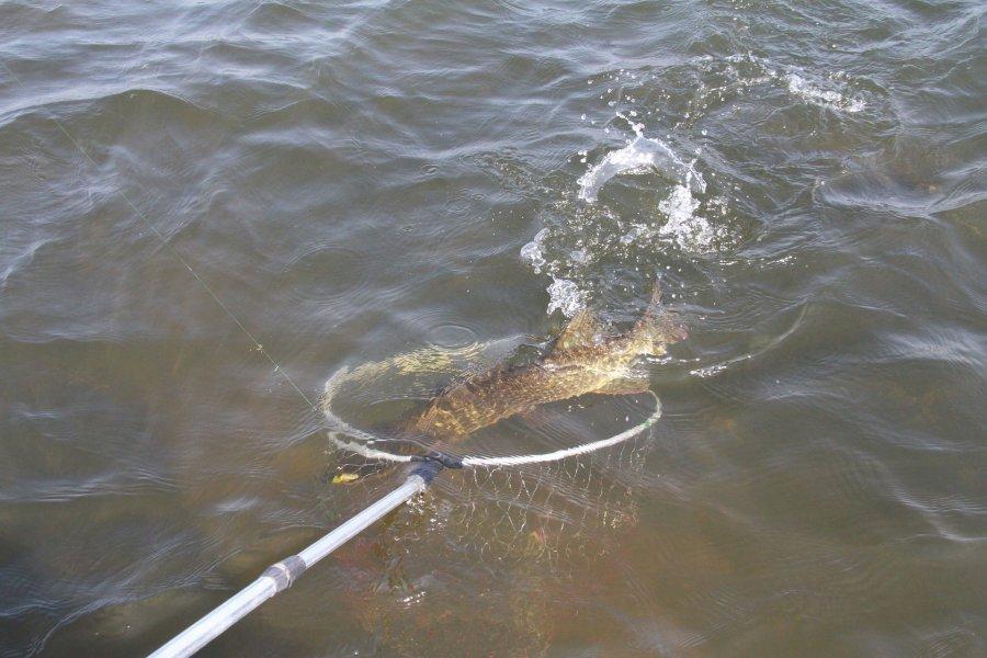 550 kilogramów ryb trafiło do Balatonu