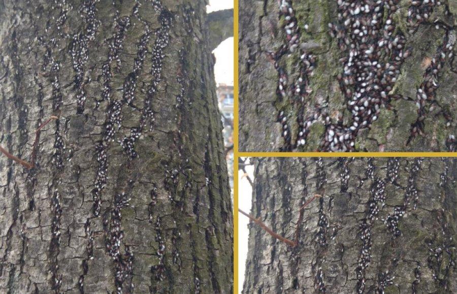 Lipy w Chrzanowie zaatakował pluskwiak. Roje owadów na drzewach