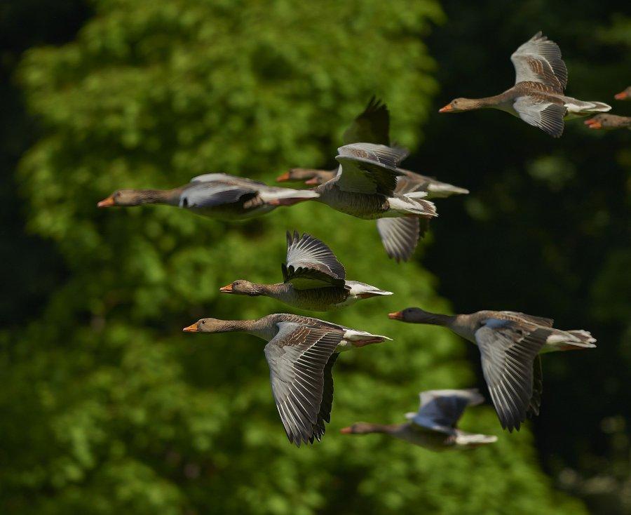 Ptaki objęte ścisłą ochroną w Borach Tucholskich