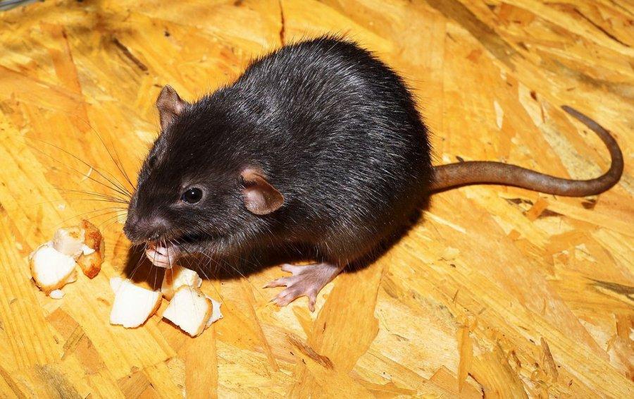 Miasto wypowiada wojnę szczurom