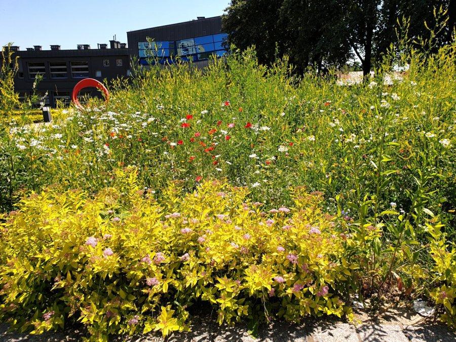 Kwietna łąka w Chrzanowie mocno się rozrosła